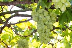 Bündel der grünen Trauben Stockfotos