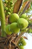Junge Kokosnussfrüchte stockbilder