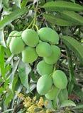 Bündel der Mangofrucht stockbild