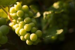 Bündel der Nahaufnahme der weißen Trauben im Sonnenunterganglicht Lizenzfreies Stockfoto