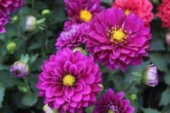 Bündel der purpurroten Farbgänseblümchenblume im Garten Stockfotos