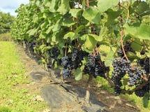 Bündel der purpurroten Trauben auf der Rebe im Weinberg Frische reife saftige Trauben lizenzfreies stockfoto