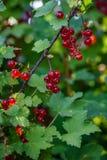 Bündel der reifen roten Johannisbeere hängen an einer Niederlassung im Garten Stockfotografie