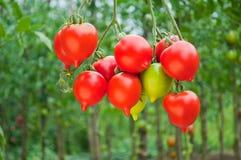 Bündel der reifen roten Tomate auf einem Hintergrund von Büschen von Tomaten lizenzfreies stockbild