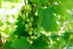 Bündel der reifen Trauben auf einer Niederlassung Weinproduktion Probleme und Krankheiten von Trauben Stockbild