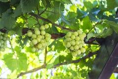 Bündel der reifen Trauben in einem Weinberg Lizenzfreies Stockbild