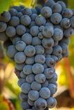 Bündel der reifen Trauben vor Ernte Stockfoto