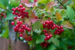 Bündel der roten Eberesche umgeben durch grüne Blätter Lizenzfreies Stockfoto