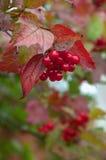 Bündel der roten Eberesche umgeben durch rote Blätter Stockfotografie