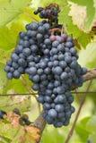 Bündel der roten Trauben, die in einem Weinberg wachsen Lizenzfreie Stockfotografie