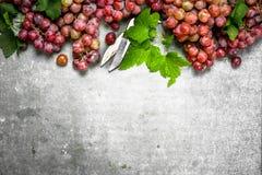 Bündel der roten Trauben herein mit Blättern Stockbilder