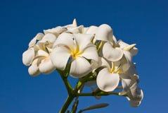 Bündel der weißen Frangipani-Blumen und des blauen Himmels Stockbilder