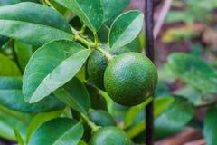 Bündel der Zitrone auf einem Zitronenbaum Stockfoto