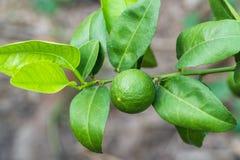Bündel der Zitrone auf einem Zitronenbaum Stockbild