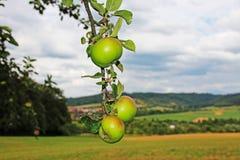 Bündel des Apfels hängend an einem Baumast Stockfotos