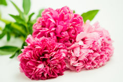 Bündel des hellen dunklen Rosas erröten Pfingstrosen-Blumen-Nahaufnahme Lizenzfreies Stockbild