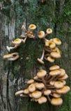 Bündel des Honig-Pilzes Stockfotos