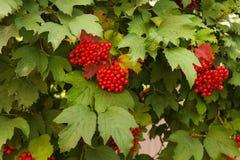 Bündel des roten Viburnum Stockbild