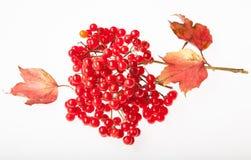 Bündel des roten Viburnum auf dem weißen backgrond Lizenzfreies Stockfoto
