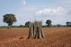 Bündel des züchtend Schösslings der Manioka Stockfotografie