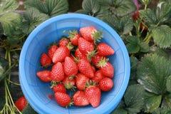 Bündel Erdbeeren im Korb Stockfotos
