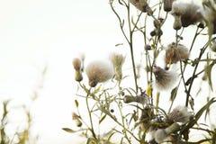 Bündel flaumige Blumen der Distel im Wind gegen den hellen weißen Himmel Stockfotografie