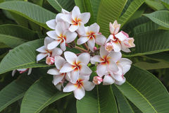 Bündel Frangipani-Blumen Stockfoto
