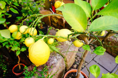 Bündel frische reife Zitronen lizenzfreie stockfotografie