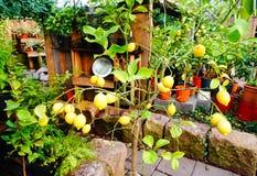 Bündel frische reife Zitronen lizenzfreie stockfotos