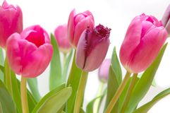 Bündel geblühte Tulpen Stockfotografie