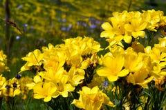 Bündel gelbe Blumen in größeren Zahlen gruppiert Lizenzfreie Stockbilder