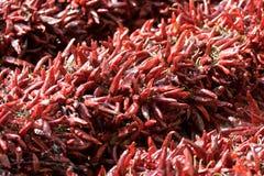 Bündel getrockneter roter Cayennepfeffer-heißer Pfeffer auf Markt Stockbild