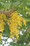Bündel goldene Duschblumen mit Hummeln Lizenzfreie Stockfotos