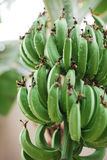 Bündel grüne Bananen auf Baum Lizenzfreies Stockbild