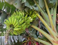 Bündel grüne Bananen, die in den Tropen wachsen stockfotografie