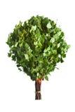 Bündel grüne Birkenzweige Stockfotos
