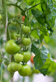 Bündel grüne Tomaten Lizenzfreies Stockbild