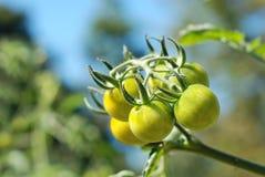 Bündel grüne Tomaten auf der Anlage Lizenzfreie Stockfotos