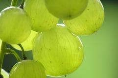Bündel grüne Trauben Stockbild