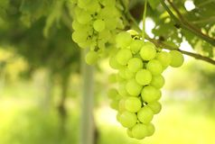 Bündel grüne Trauben, die im Weinberg hängen Stockfotografie