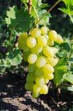 Bündel große Trauben der weißen Vielzahl auf der Rebe Grad-Weiß-Freude Stockfotos