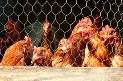 Bündel Hühner in einem Korb Stockfoto
