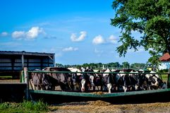 Bündel Kühe, die aus Abflussrinne heraus essen stockbild