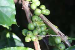 Bündel Kaffeebohnen von der Kaffeeanlage Stockbilder