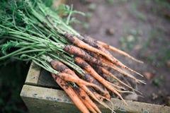Bündel Karotten Lizenzfreie Stockfotos