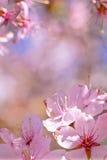 Bündel Kirschblüte-Blumen Lizenzfreies Stockbild