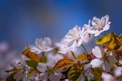 Bündel Kirschblüte-Blumen Stockbild