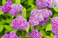 Bündel kleine purpurrote Blumen Stockfoto