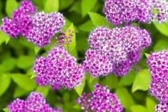 Bündel kleine purpurrote Blumen Stockfotografie