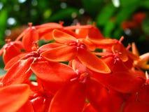 Bündel kleines rotes Scharlachrot Jungleflame-Blumen lizenzfreie stockfotografie